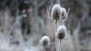 Reif auf den Blütenständen der Wilden Karde - 28. November 2016, 08:19 Uhr