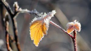 Blätter und Zweig mit Raureif am 3. Dezember 2016 um 10:57 Uhr
