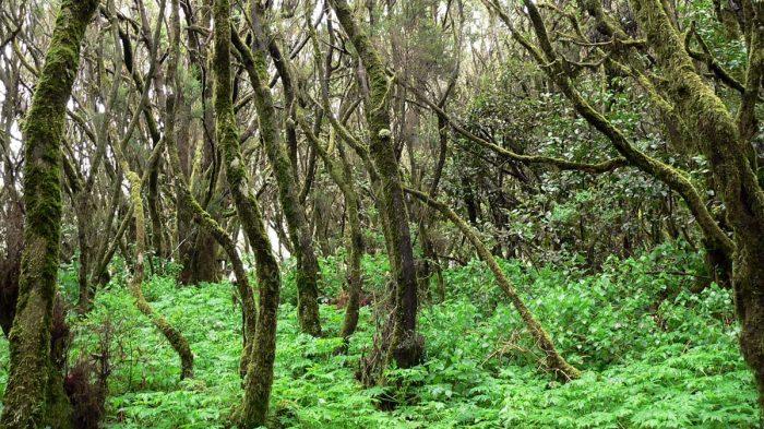 Immergrüner Nebelwald im Nationalpark Garajonay auf La Gomera