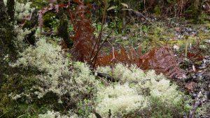 Farne im Nationalpark Garajonay auf La Gomera