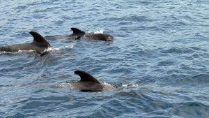 Grindwale (Globicephala melas), auch bekannt als Pilotwale