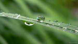 Regentropfen auf Silberfahnengras