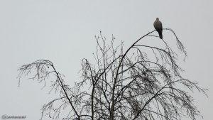 Ringeltaube (Columba palumbus) genießt den Regen auf Birke - 30. Januar 2017 um 10:29 Uhr