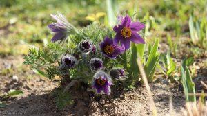 Blüten der Gewöhnlichen Kuhschelle (Pulsatilla vulgaris) am 31. März 2017 um 10:27 Uhr