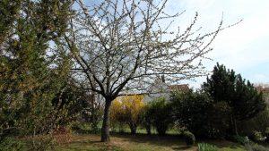 Beginn der Kirschblüte - 4. April 2017, 15:35 Uhr