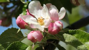Apfelblüten nach Frostnacht - 20. April 2017, 15:23 Uhr
