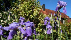 Schwertlilien (Iris germanica) am 20. Mai 2017 um 09:04 Uhr