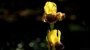 Deutsche Schwertlilie (Iris germanica) am 26. Mai 2017 um 11:56 Uhr