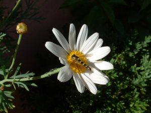 Gewöhnliche Langbauchschwebfliege (Sphaerophoria scripta) auf Sommermargerite
