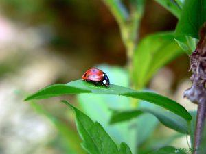 Siebenpunkt (Coccinella septem-punctata)