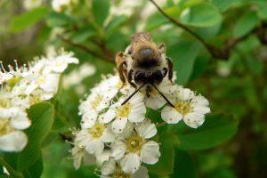 Westliche Honigbiene (Apis mellifera) am 14. Mai 2007 um 13:57 Uhr