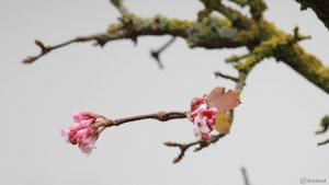 Erste Blüten des Winterschneeballs (Viburnum bodnantense) am 21. November 2017 um 12:52 Uhr