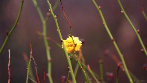 Blüte der Japanischen Kerrie (Kerria japonica), auch Ranunkelstrauch genannt, am 22. Dezember 2017 um 12:29 Uhr