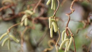 Blüten der Korkenzieherhasel (Corylus avellana) am 22. Dezember 2017 um 12:30 Uhr