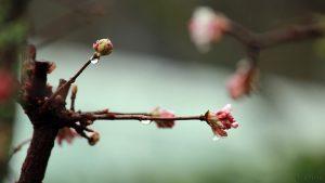 Blüten des Winterschneeballs (Viburnum bodnantense) und Regentropfen am 22. Dezember 2017 um 12:34 Uhr
