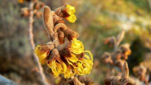 Blüten der Chinesischen Zaubernuss (Hamamelis mollis) am 28. Januar 2011 um 16:12 Uhr