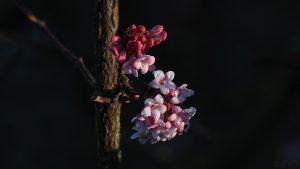 Blüten des Winterschneeballs (Viburnum bodnantense) am 12. Januar 2014 um 09:19 Uhr