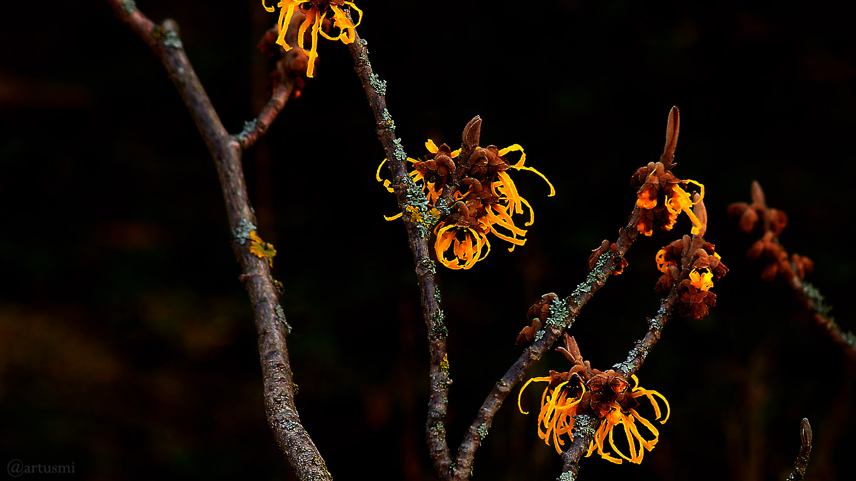 Blüten der Chinesischen Zaubernuss (Hamamelis mollis) am 10. Januar 2018 um 12:54 Uhr
