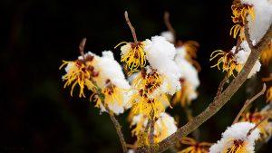 Schnee auf den Blüten der Chinesischen Zaubernuss (Hamamelis mollis) am 4. Februar 2018 um 12:23 Uhr