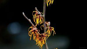 Schon 10 Wochen alt - Blüten der Chinesischen Zaubernuss (Hamamelis mollis) am 17. März 2018 um 16:53 Uhr