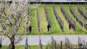 Arbeiter im Weinberg am Würzburger Stein