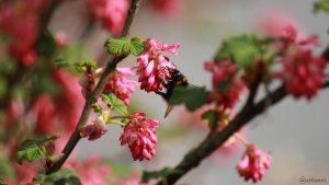 Hummel auf Blüte der Blut-Johannisbeere (Ribes sanguineum) - 14. April 2018, 16:05 Uhr