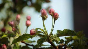 Geschlossene Apfelblüten am 22. April 2018 um 12:09 Uhr