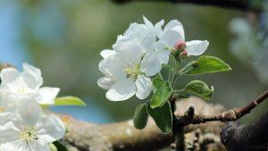 Apfelblüten am 22. April 2018 um 12:10 Uhr