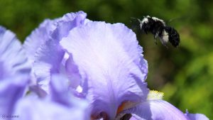 Blaue Holzbiene (Xylocopa violacea) am 21. Mai 2018 um 13:30 Uhr im Anflug auf Iris germanica