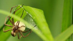 Webspinne (Araneae) mit Eikokon auf Silberfahnengras - 24. Mai 2018, 11:45 Uhr