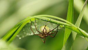 Webspinne (Araneae) mit Eikokon auf Silberfahnengras - 24. Mai 2018, 11:46 Uhr