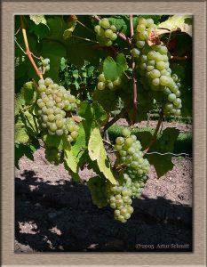 Weiße Weintrauben