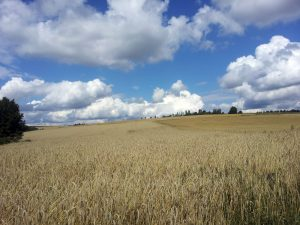 Getreidefeld bei Hettstadt im Lkr. Würzburg