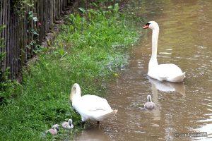 Schwanenpaar mit Nachwuchs während des Hochwassers in Sommerhausen am Main