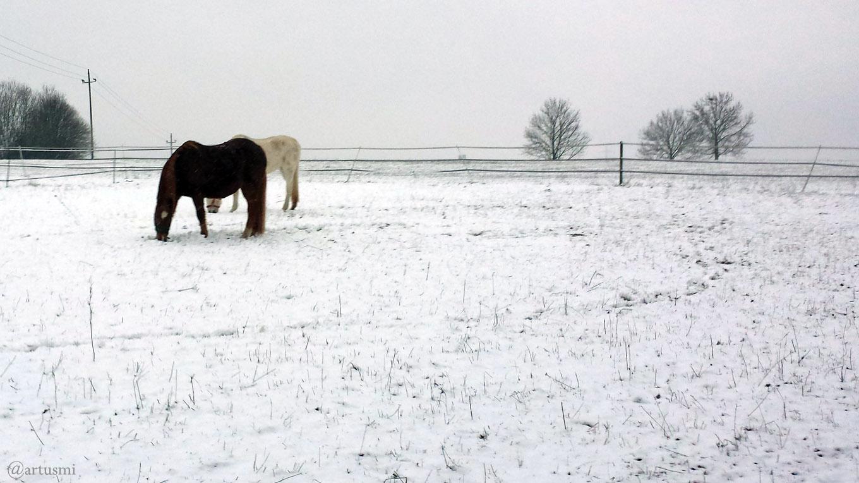 Pferde im Schnee am 11. Januar 2019 um 15:12 Uhr