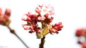 Blüten des Winterschneeballs (Viburnum bodnantense) am 20. Februar 2019
