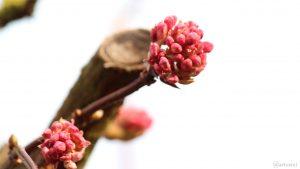 Geschlossene Blüten des Winterschneeballs (Viburnum bodnantense) am 20. Februar 2019