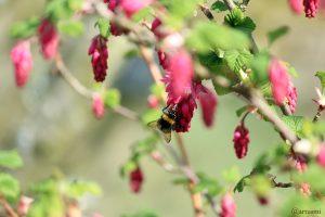 Hummel auf Blüte der Blut-Johannisbeere (Ribes sanguineum) am 30. März 2019 um 14:34 Uhr
