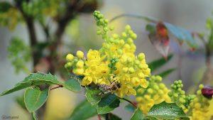 Westliche Honigbiene (Apis mellifera) auf Blüten der Gewöhnlichen Mahonie (Mahonia aquifolium) am 30. März 2019 um 14:43 Uhr