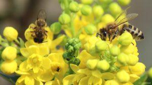 Westliche Honigbiene (Apis mellifera) auf Blüten der Gewöhnlichen Mahonie (Mahonia aquifolium) am 30. März 2019 um 14:44 Uhr