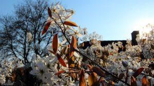 Blüten der Kupfer-Felsenbirne (Amelanchier lamarckii) am 11. April 2019