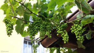 Weintrauben im Biergarten im Gasthof Zur Linde am 17. Juni 2018