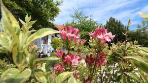 Unser Garten am 15. Mai 2019 - Buntblättrige Weigelie 'Nana Variegata' (Weigela florida 'Nana Variegata')