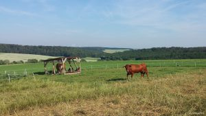 Viehweide in der Eisinger Flur am 24. Juni 2019