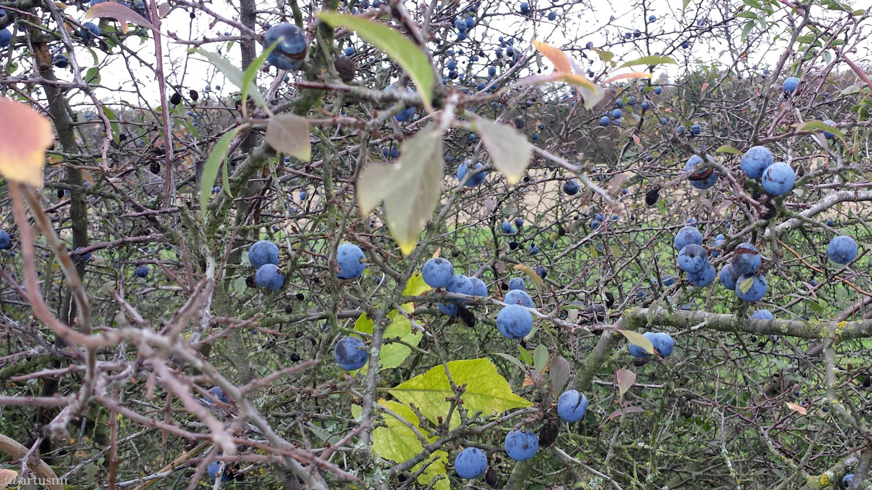 Früchte des Schlehdorns (Prunus spinosa) am 7. Oktober 2019