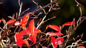 Herbstlaub der Kupfer-Felsenbirne (Amelanchier lamarckii) am 10. Oktober 2019 um 16:16 Uhr