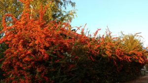 Blüten des Feuerdorns (Pyracantha) am 10. Oktober 2019 um 18:24 Uhr im Licht der untergehenden Sonne
