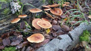 Pilze an morschem Baumstamm im Wald