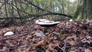 Stolze 30 cm Durchmesser misst der Schirm dieses Pilzes