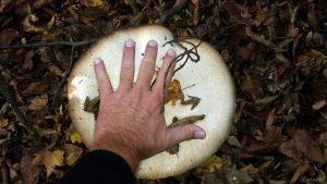 Größenvergleich von Hand und Pilzschirm